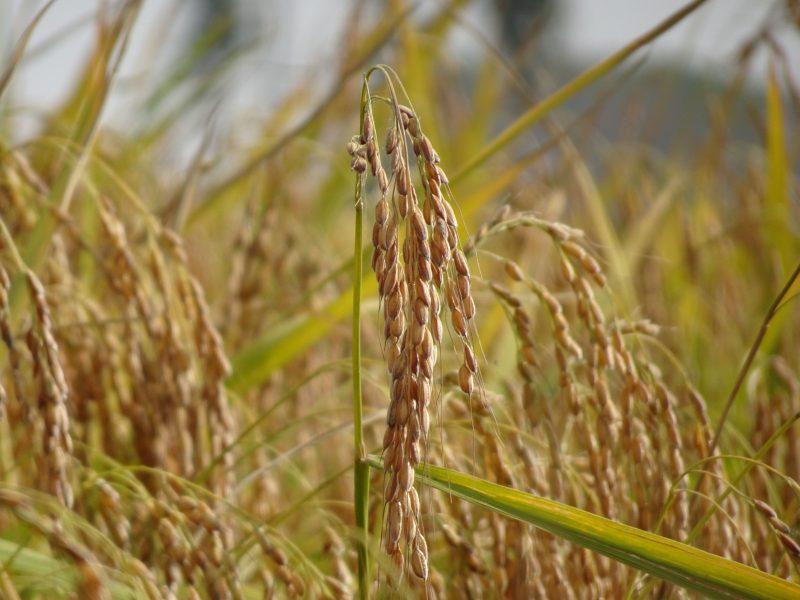 Vom beliebten Grundnahrungsmittel zur vielseitigen Lebensmittelzutat: Insbesondere Reisstärke eignet sich besonders für Clean-Label-Rezepturen. Bild: Beneo